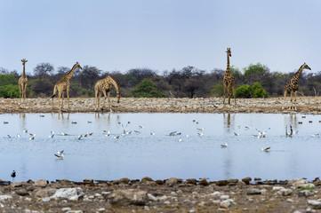 Afrikanische Steppengiraffen im Etosha , Namibia