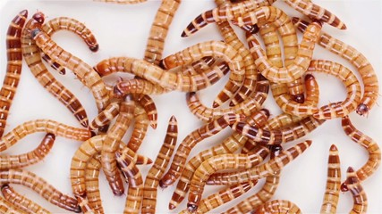 Set of 3 views Zophobas morio (worms) close up backgrounds