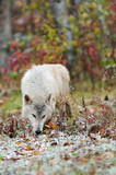 Blonde Wolf (Canis lupus) Sniffs in the Snow poster
