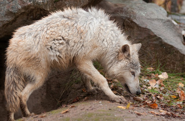 Blonde Wolf (Canis lupus) Prowls Outside Den