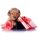 Puppy in a gift box with a bow and a rose