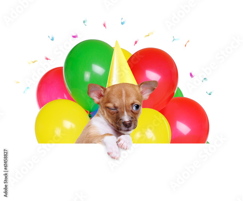 chihuahua puppy with white blank and birthday balloons