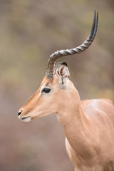 Mature male impala in Kruger National Park, South Africa