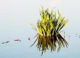Clump of grass is reflected in a pond