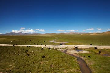 Yak in Tibet landscape