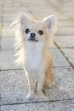 Portrait of a longhair chihuahua sitting down