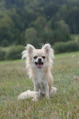 Portrait of a longhair chihuahua smiling