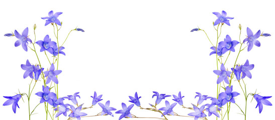 isolated blue campanula flowers half frame