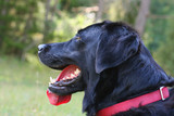 Side portrait of a black labrador retriever dog
