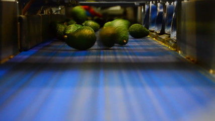 avocados hass in a packaging line