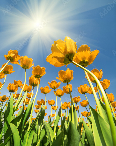 yellow tulips growing to bright sun