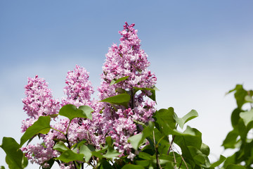 Branch of a pink lilac waves on a wind