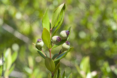 canvas print picture Common Myrtle, Myrtus communis