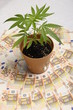 Cannabis plant and euro money