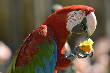 Portrait Scarlet macaw eating fruit