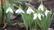 garden with snowdrops spring season