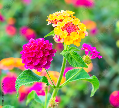 Lantana Flowers camara, background