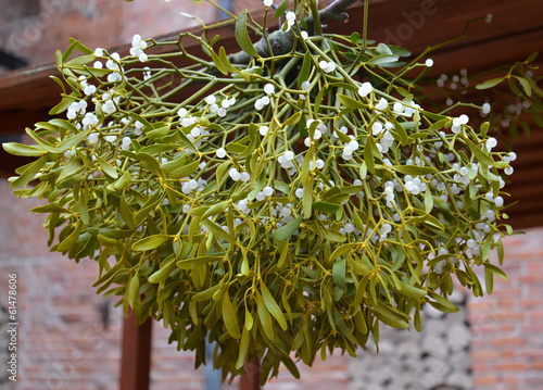 Drying of a mistletoe white (Viscum album L. )