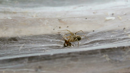 Spider catching fly struggling on flat carpet web