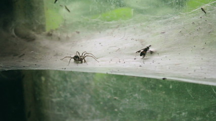 Spider catching fly struggling on thick web