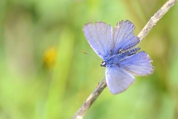 Primo piano di una piccola farfalla blu