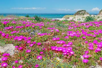 platamona in springtime