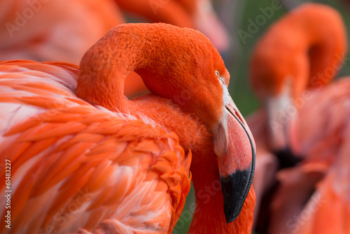 Foto Spatwand Flamingo Kubaflamingo .Phoenicopterus ruber
