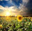 Sun and sunflowers