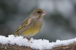 Greenfinch sitting on a branch with snow