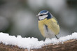 Blue tit sitting on a branch with snow