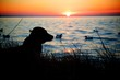 canvas print picture - hunting dog by the sunset