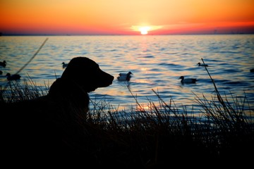 hunting dog by the sunset