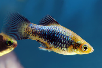 Black Blue Platy fish