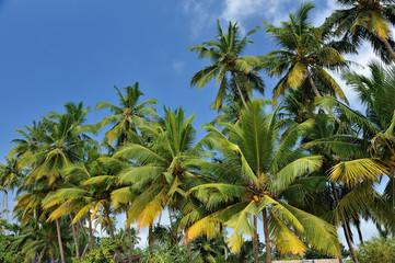 Sri Lanka - panorama di palme  - Mirissa