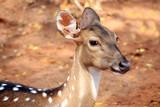 axis deer poster