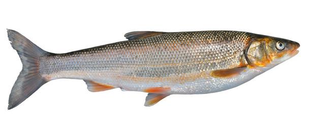 Fish (Leuciscus brandti) 13
