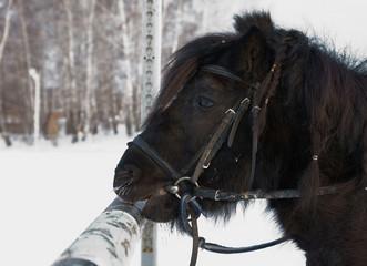 Black Shetland pony outdoor