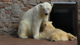 female polar bear feeding her cub