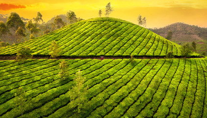 Small woman in tea plantations