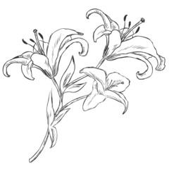 Vector Sketch Illustration - lily
