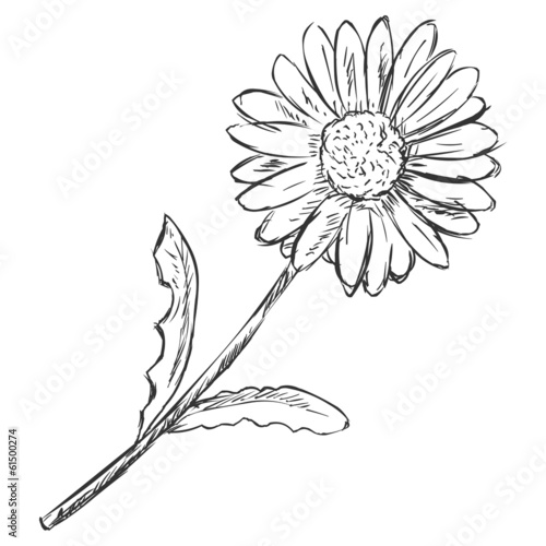 Vector Sketch Illustration - camomile