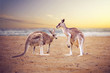 canvas print picture - Kangaroos