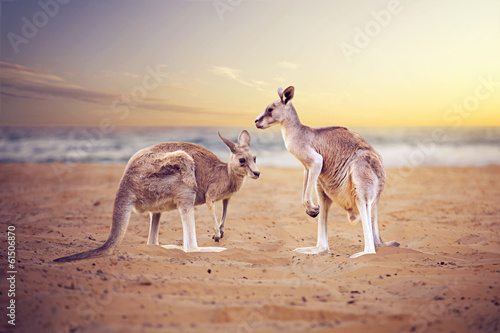 canvas print picture Kangaroos