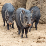 Peccary in the desert