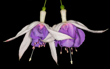 White and purple Fuchsia flower
