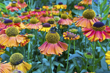 Orange-red coneflowers in a garden in England.