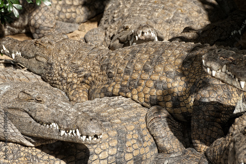 Large group of Nile crocodiles sharing basking spot