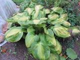 Cultivar Hosta plantaginea (Liliaceae) in the autumn garden poster