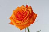 orange single rose isolated on white background
