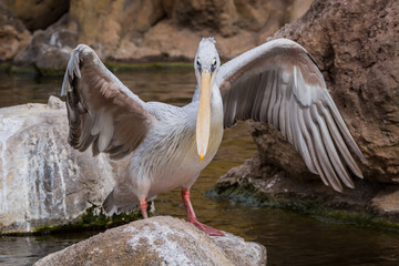 Pelican on the rock